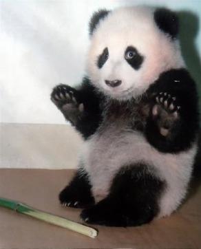 panda-handsup